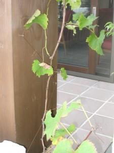 葡萄の木ですよ。