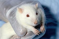 rat (Wikipediaより)