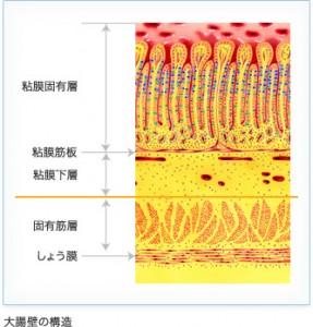 大腸粘膜の層構造です。